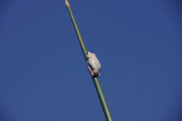 tiny white frog in Okavango Delta - vegan guide