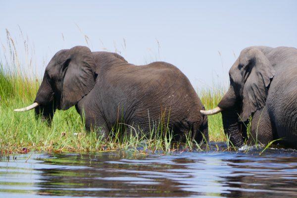 Elephants in the Okavango Delta - vegan guide