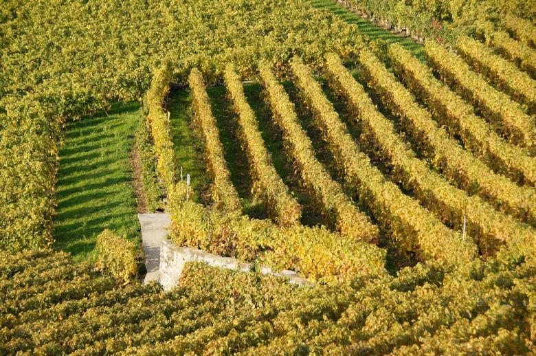 Grape vines in autumn - organic vegan wine brands