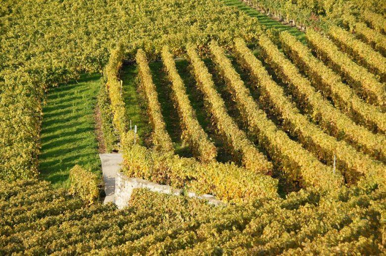 Grape vines in autumn - organic vegan wine brands