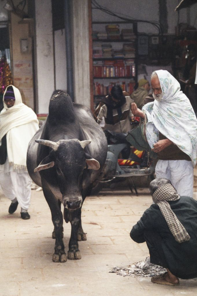 Cow in Varanasi India