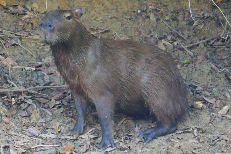 Capybara in the Pantanal Brazil