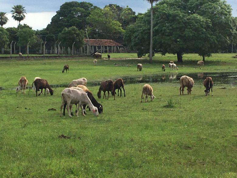 Sheep - Pantanal animals