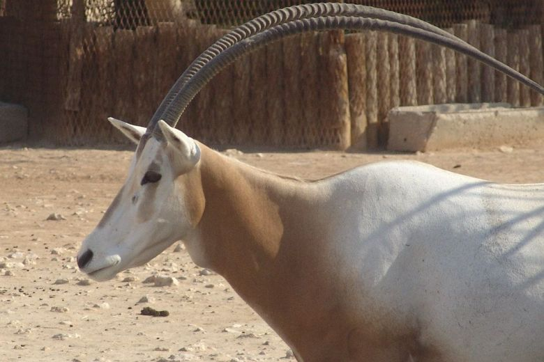 Arabian oryx - Jordan national animal