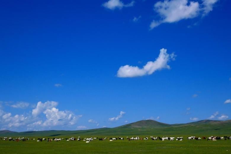 sheep in Mongolia