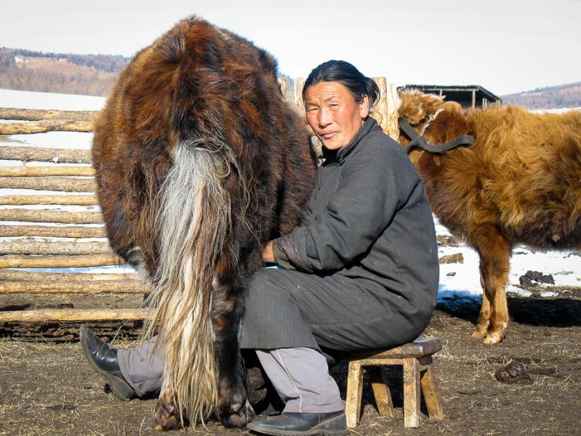 Adventure, Khangain Nuruu National Park, Mongolia, Nomads, animal, asia, farm, milk, photography, tips, travel, woman