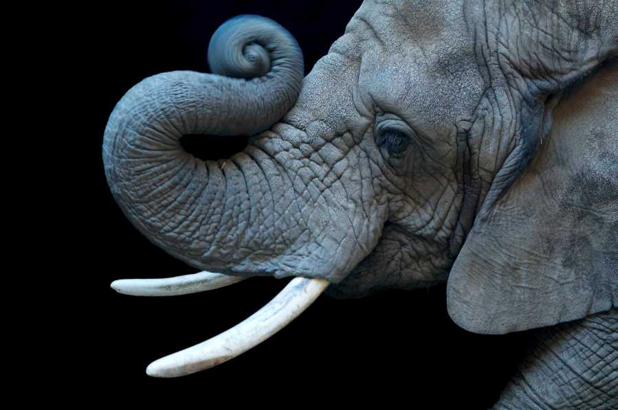 The+African+Elephant++is+one+of+the+species+documented+in+Joel+Sartore%27s+Photo+Ark+that+is+on+display+in+one+of+NKU%27s+FotoFocus+galleries.%0A