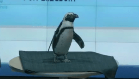 VIDEO: Penguins promote conservation efforts