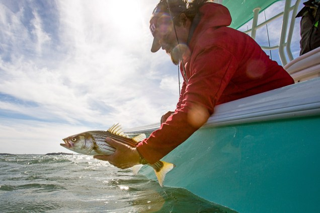 Releasing Boston Striped Bass