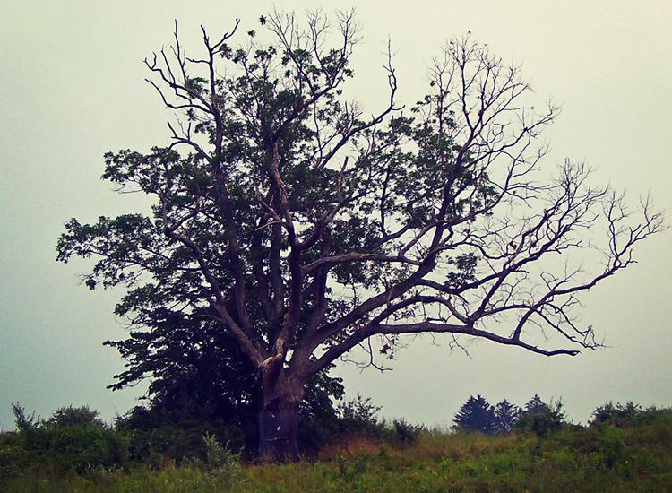 Ombres des morts: la légende obsédante de l'arbre du diable