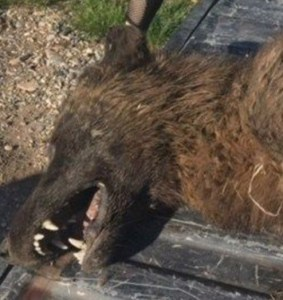 Strange wolf-like animal killed in Montana