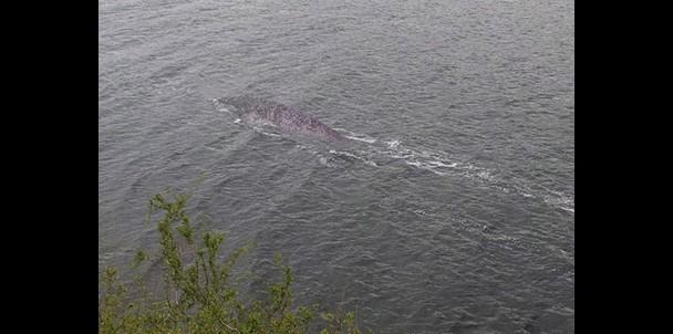 New Loch Ness Monster Photograph?