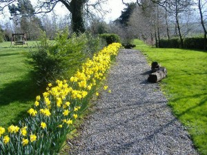 The Daffodils in Spring