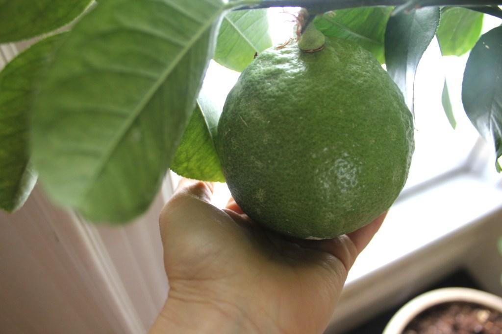 how to grow huge lemons indoors the old walsh farm. Black Bedroom Furniture Sets. Home Design Ideas
