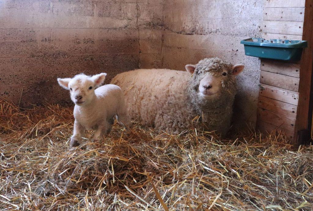 Happy, bouncing lamb