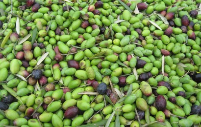 Northern hemisphere olive oil production to increase in 2017/2018 season