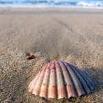 scallop shell on beach
