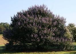 A mature vitex shrub