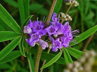The purple vitex flower