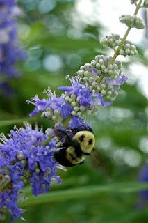 A bee pollinating a vitex flower