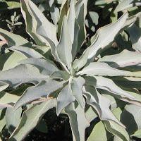 A white sage shrub