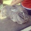 Wildwood Rabbitry - The Road to DragonCon 2013 -
