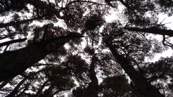 The treetops in the woods bordering the Shire (Mt. Victoria)
