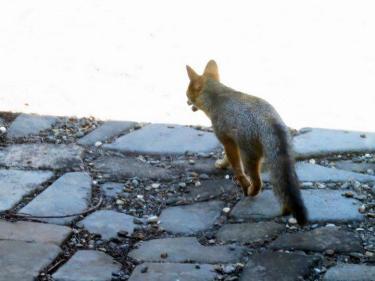 Meadows fox