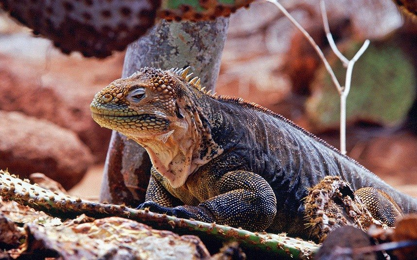 Iguana in the Galapagos, a place many of as one of their bucket list goals.