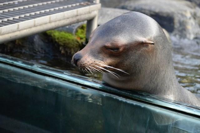 Central-Park-Zoo-sea-lion