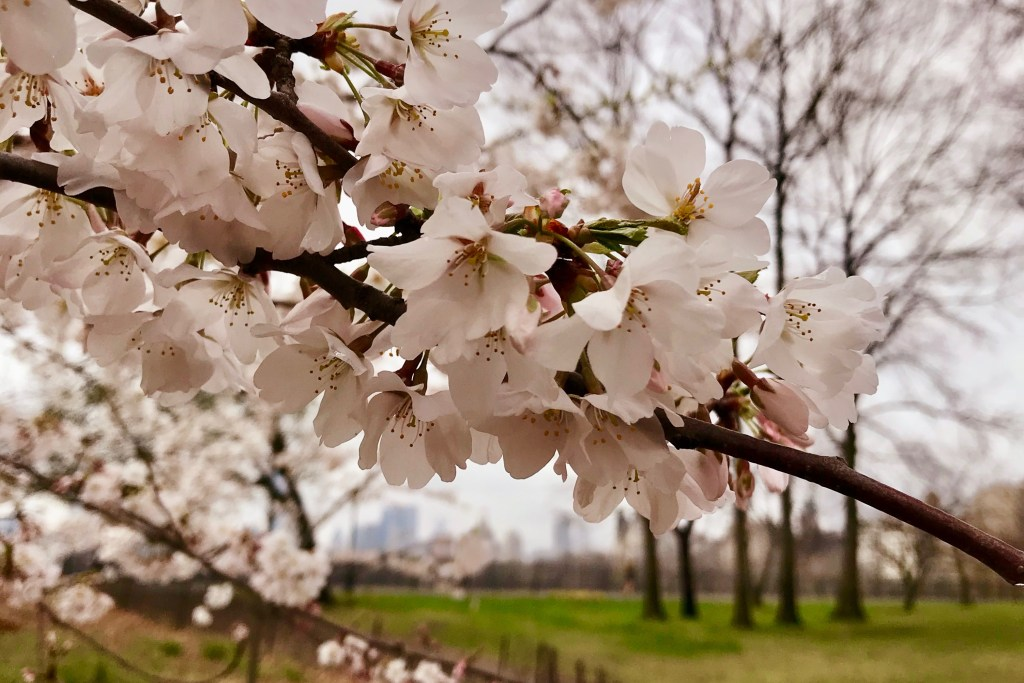 Sign of spring in New York City - a branch of cherry blossoms in Central Park framing the NY skyline