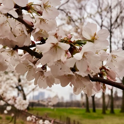 Viewing the Cherry Blossoms in NY's Central Park