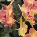 peach orchids at the nybg annual orchid show