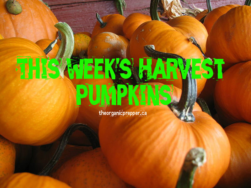 The crisp autumn chill signals that it\'s time to walk through the crunchy leaves back to the garden to harvest your pumpkins.