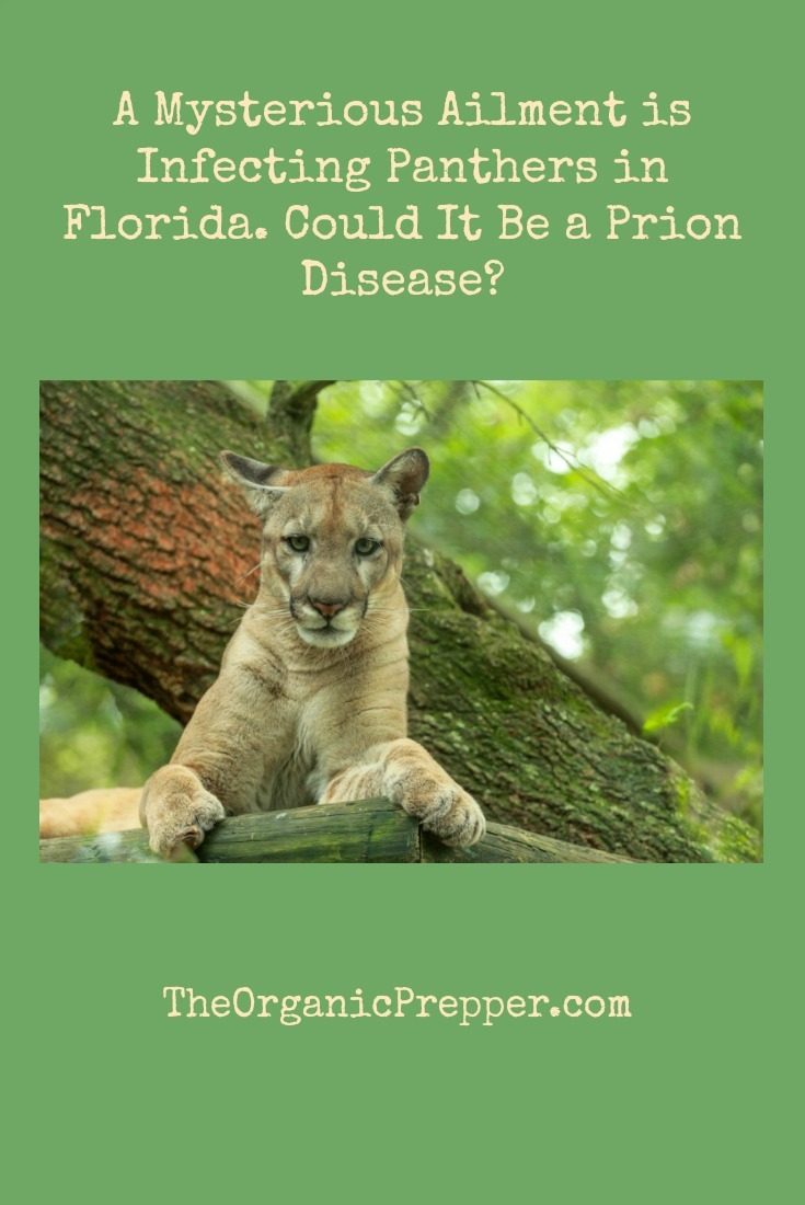 Some panthers and bobcats in Florida have been acting strangely lately. Experts are struggling to determine the cause. Could it be a prion disease?