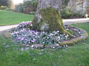 Wow, look at these beautiful Cyclamen coum