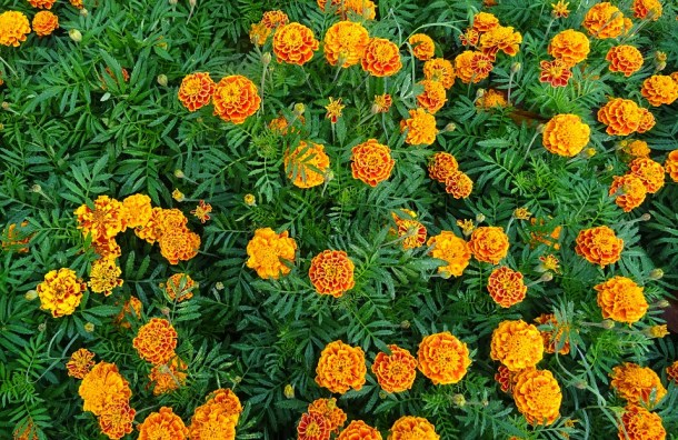 Yellow Flora Flower Marigold French Marigold - Winter flowering plants to grow in India