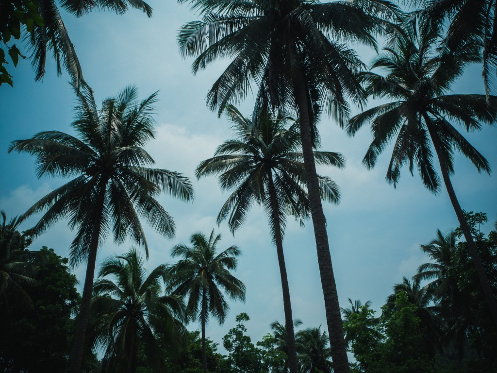silhouette coconut trees in real quezon