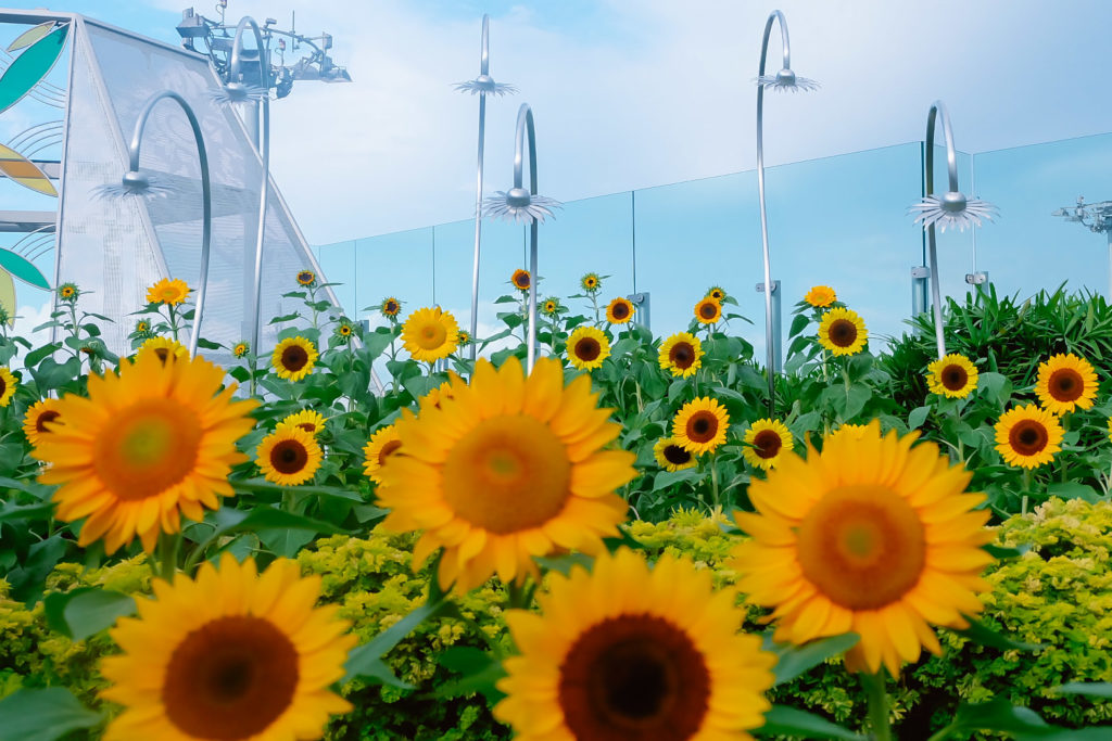 sunflowers garden in changi airport singapore
