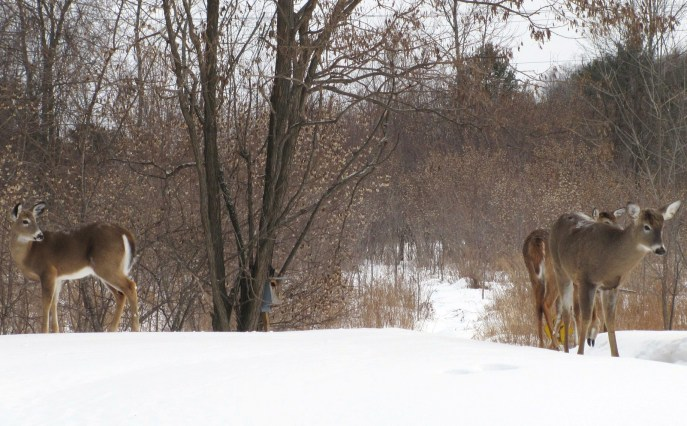 Backyard winter deer