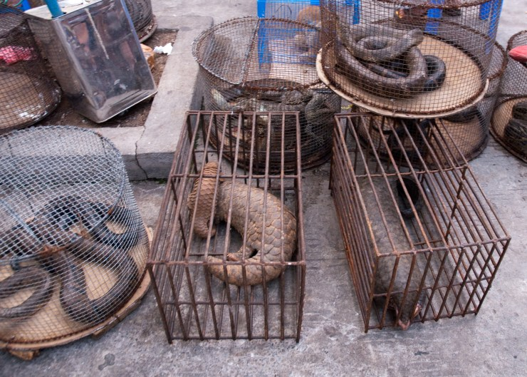 Caged Pangolins at a Wild Animal Market in Yangon, Myanmar Source: https://www.flickr.com/photos/38518750@N00/4572625188