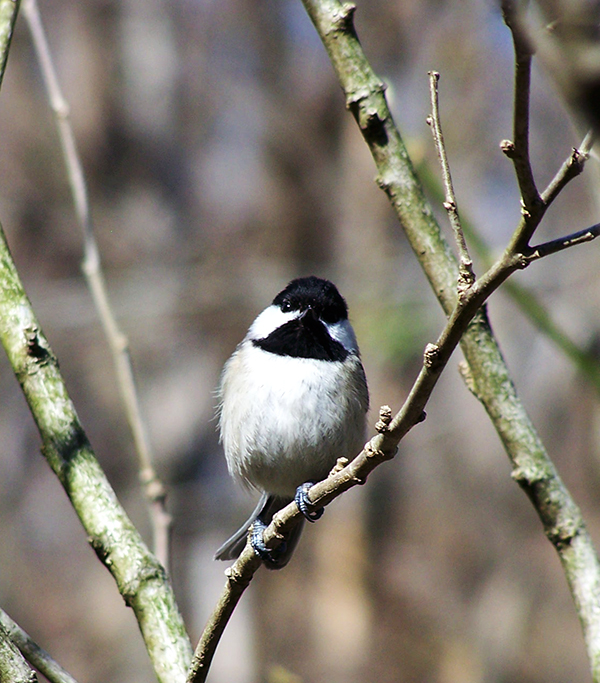 Black-capped Chickadees and Magnolia Stellata