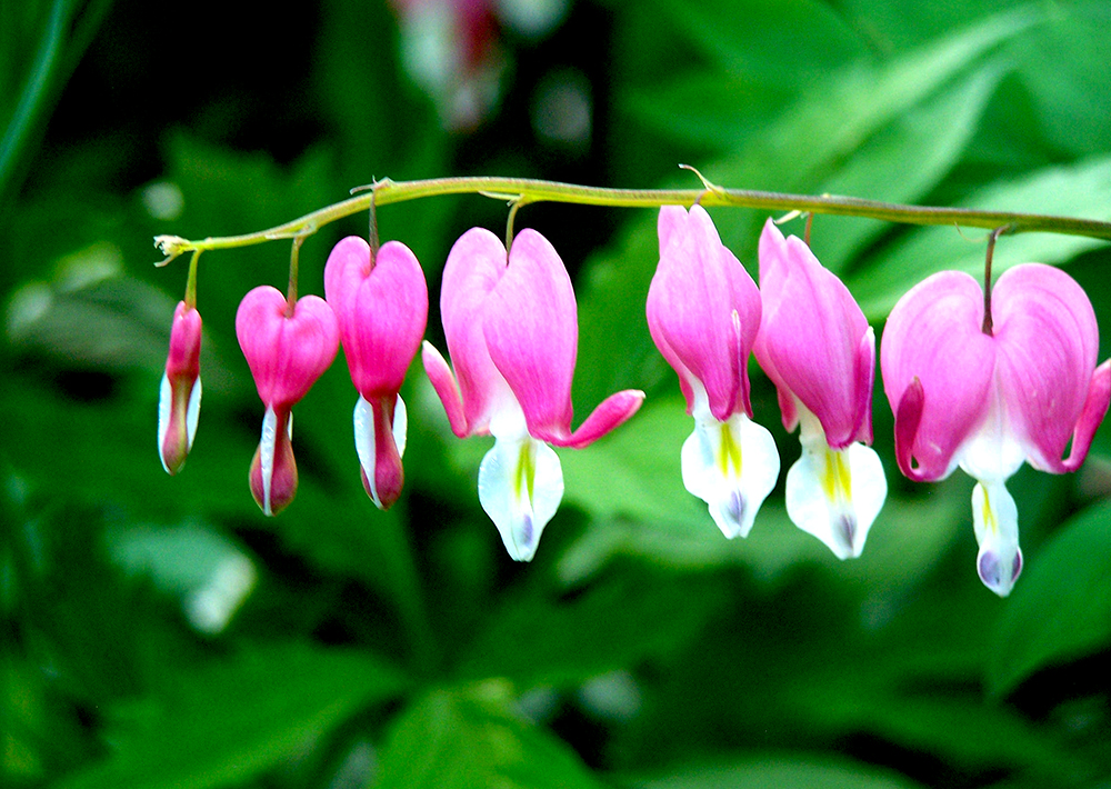 Bleeding Hearts: A Japanese Legend