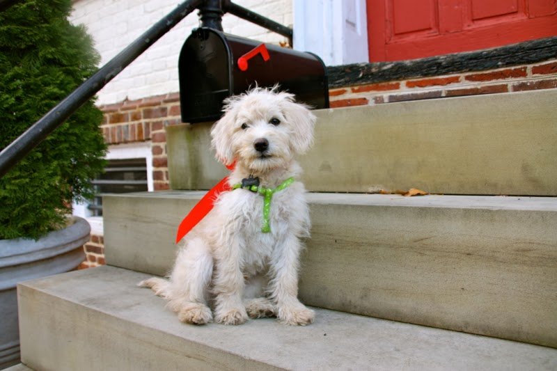 Christmas-Schnoodle12