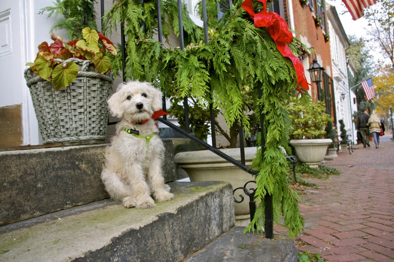 Christmas-Schnoodle15