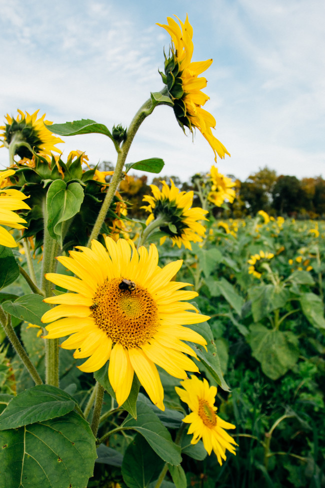 Virginia Sunflowers - The Overseas Escape-1