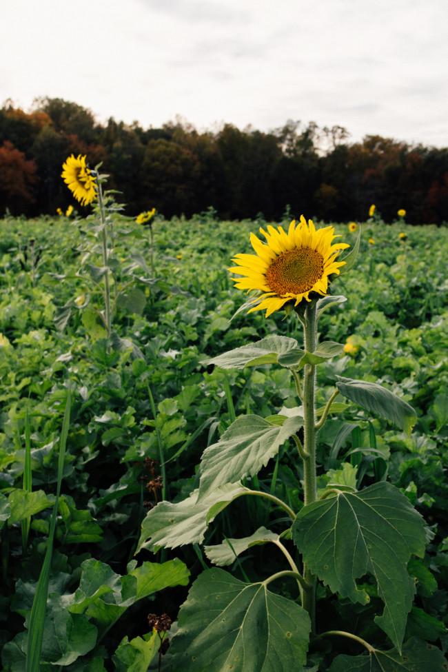 Virginia Sunflowers - The Overseas Escape-3