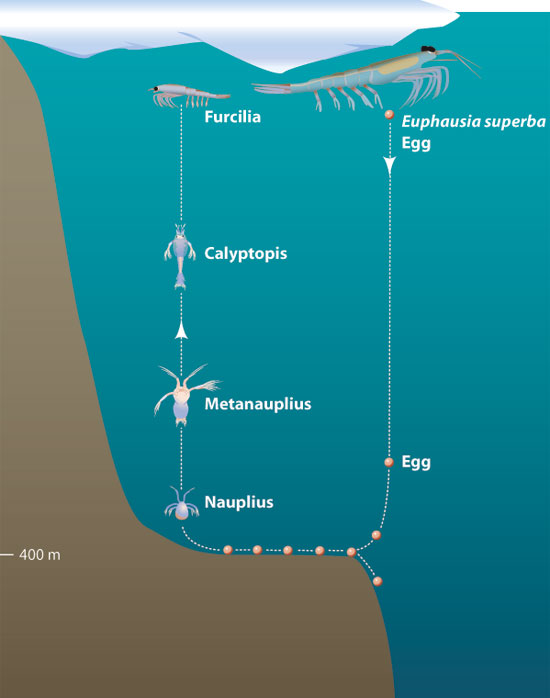 Image result for antarctic krill life cycle