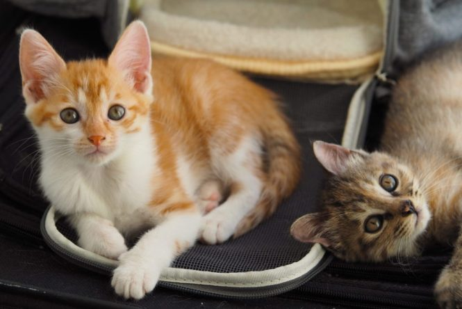 Fostering Pets Abroad Kittens Have