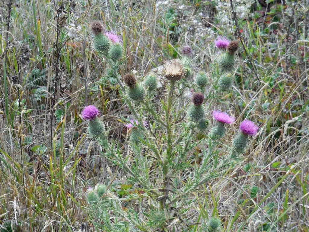 Star Thistle at Salt Point State Park, Fort Ross, CA